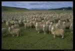 sheep_55_4.sized
